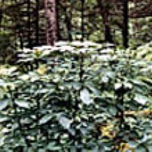 Wild Eleuthero