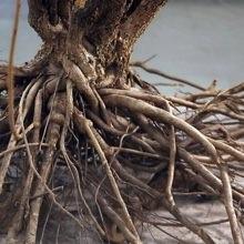 Root of Eleuthero