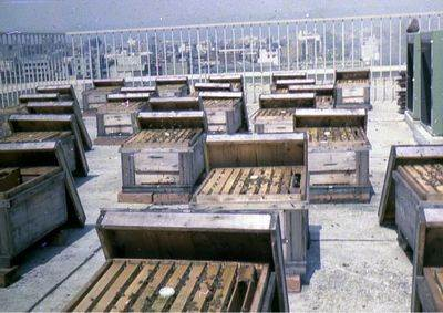 The picture of the rooftop of the first head-office building {LF} There were lots of hives, and Omitus was made of honey produced by bees which take chlorella.